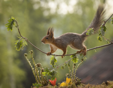 red squirrel looking on rowan-berry branches