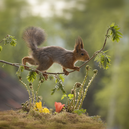 red squirrel walking on rowan-berry branches Stock Photo