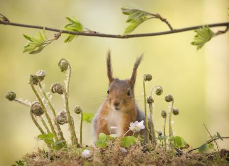 red squirrel is standing behind ferns