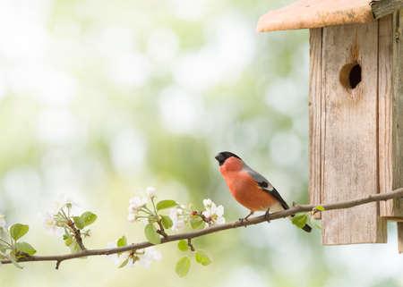 male bullfinch on apple branch with an birdhouse Stock Photo