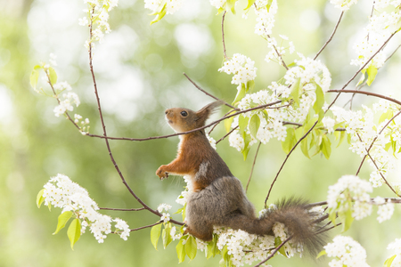 red squirrel looking up on flower branches  Stock Photo