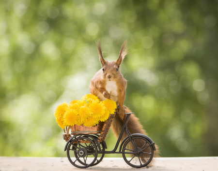 red squirrel with dandelion and a cycle  Stock Photo