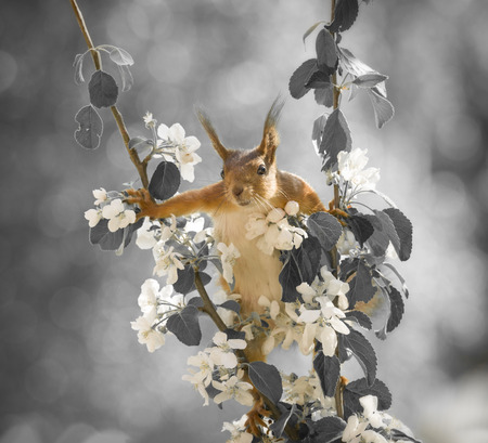red squirrel looking between apple flower branches
