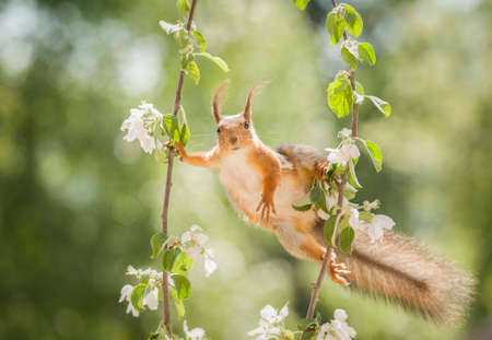red squirrel holding flower branches  Stock Photo