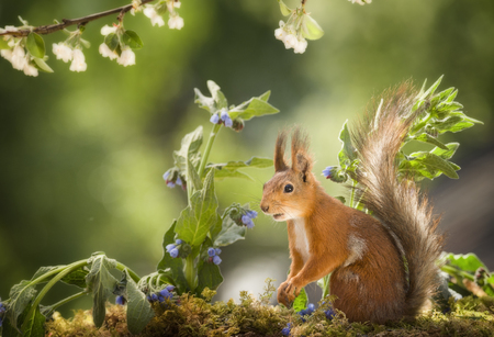 red squirrel is standing between blue comfrey