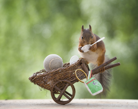 red squirrel with tennis tools on a wheelbarrow  Stock Photo