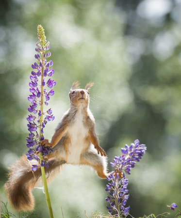red squirrel balancing between lupine   Stock Photo