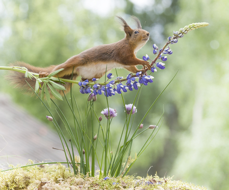 red squirrel walking on a lupine