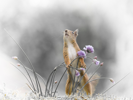 red squirrel is holding chive flowers  Stock Photo