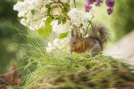 red squirrels are standing under a lilac branch