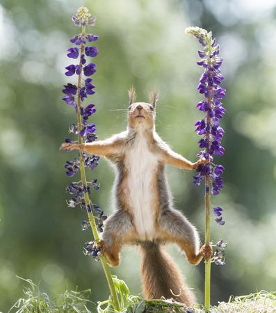 red squirrel standing between lupine