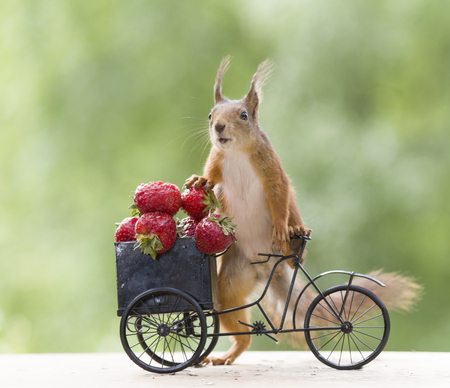 red squirrel on a cycle and a Strawberry
