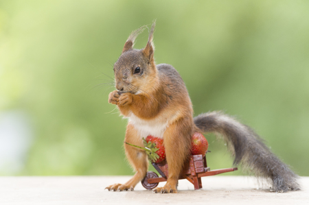 red squirrel on an wheelbarrow with a Strawberry  Stock Photo
