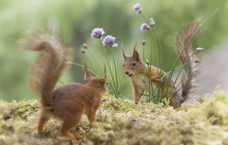 red squirrels between chive flowers