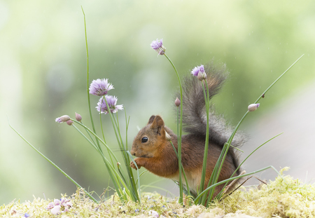 red squirrel standing behind chive flowers