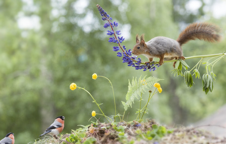 red squirrel on a lupine with bullfinch below Stock Photo