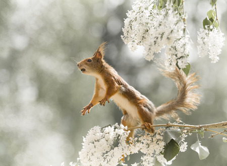 red squirrel looking up on lilac  branches