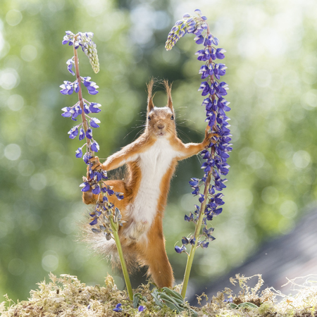 red squirrel in an split between lupine  Stock Photo