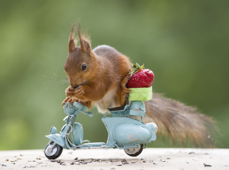 red squirrel with a motor bike and a Strawberry