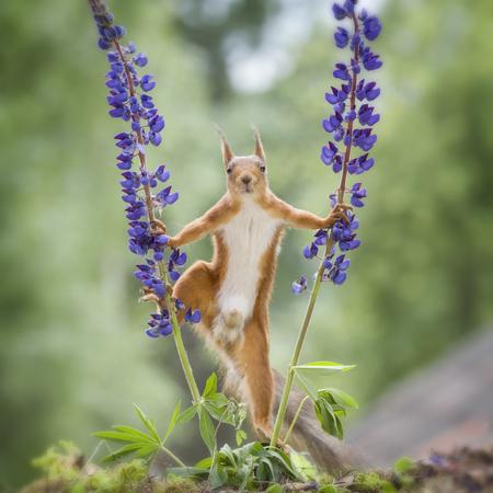 red squirrel looking forward between lupine  Reklamní fotografie