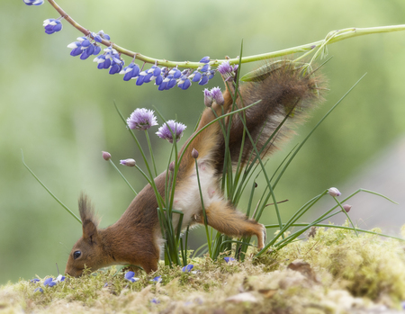 red squirrel is climbing down from a lupine Stock Photo