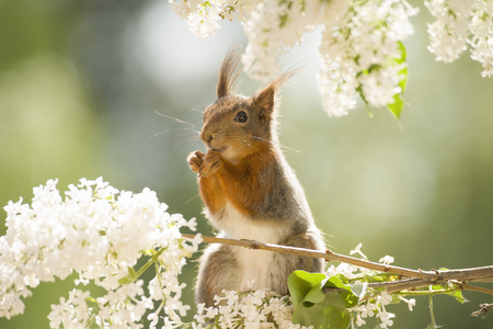 red squirrel sitting on lilac  branches