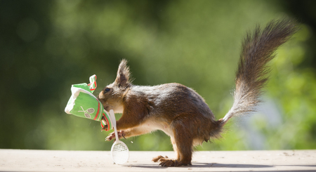 red squirrel with a bag and a Tennis Racket Stock Photo