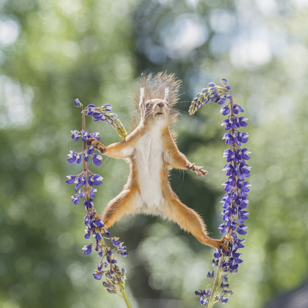 red squirrel is in a split between lupine