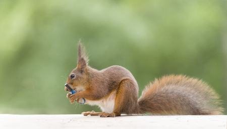 red squirrel with a Tennis Racket Stock Photo