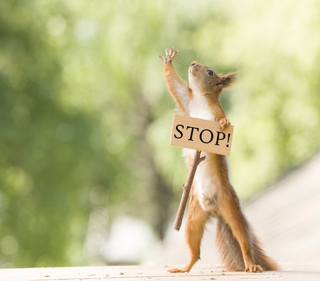 red squirrel is holding a stop sign