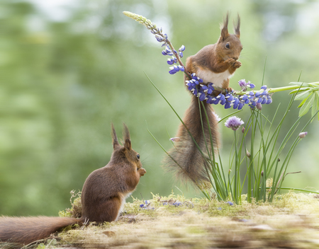 red squirrels with chive and a lupine