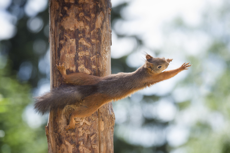 red squirrel reaching from a tree