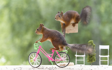 red squirrel standing on a cycle