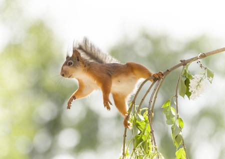 red squirrel balancing on lilac  branches