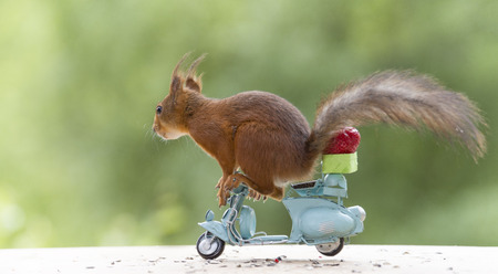 red squirrel on a motor bike with a Strawberry
