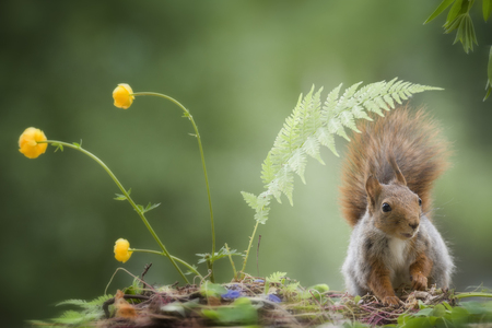 red squirrel with globe flower and a fern leaf