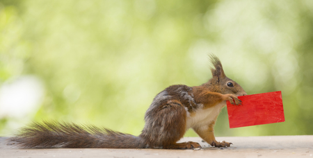red squirrel holding a red card