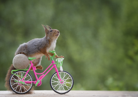 red squirrel on a cycle Stock Photo