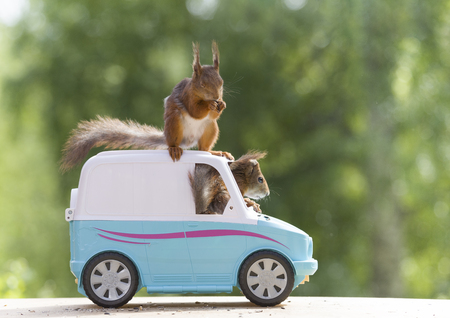 red squirrels are riding in a van  Stock Photo