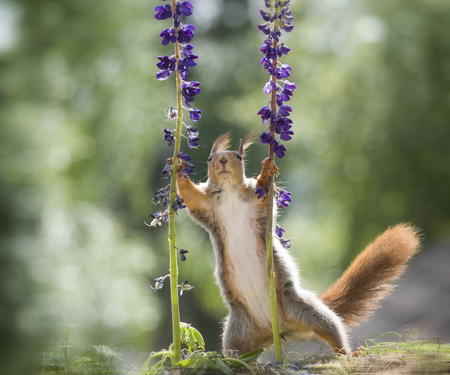 red squirrel holding lupine flowers