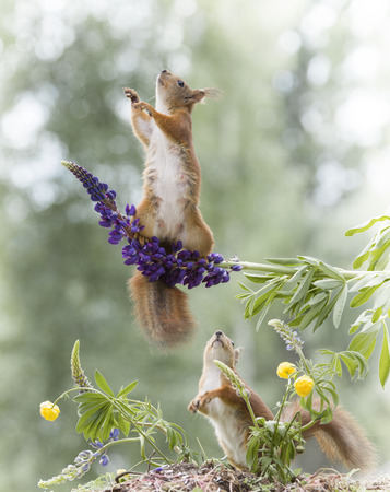 red squirrels are looking up with a lupine  Stock Photo