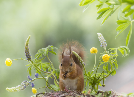 red squirrel with lupine and globeflowers Stock Photo