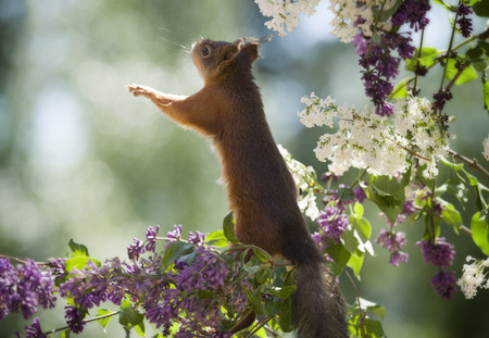 red squirrel is looking up on a lilac branch