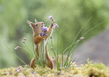red squirrel grabbing chive flowers