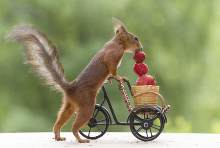 red squirrel with Strawberry and a cycle Stock Photo