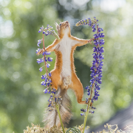 red squirrel climb in a split between lupine