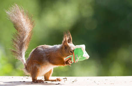red squirrel with a bag