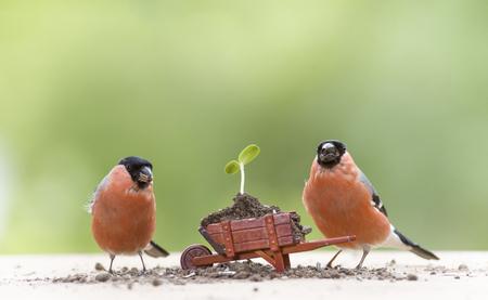 bullfinch with an wheelbarrow with sunflower plant  Stock Photo