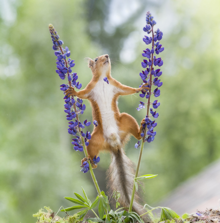 red squirrel looking up between lupine Stock Photo