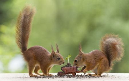 red squirrels with an wheelbarrow with sunflower plant Stock Photo